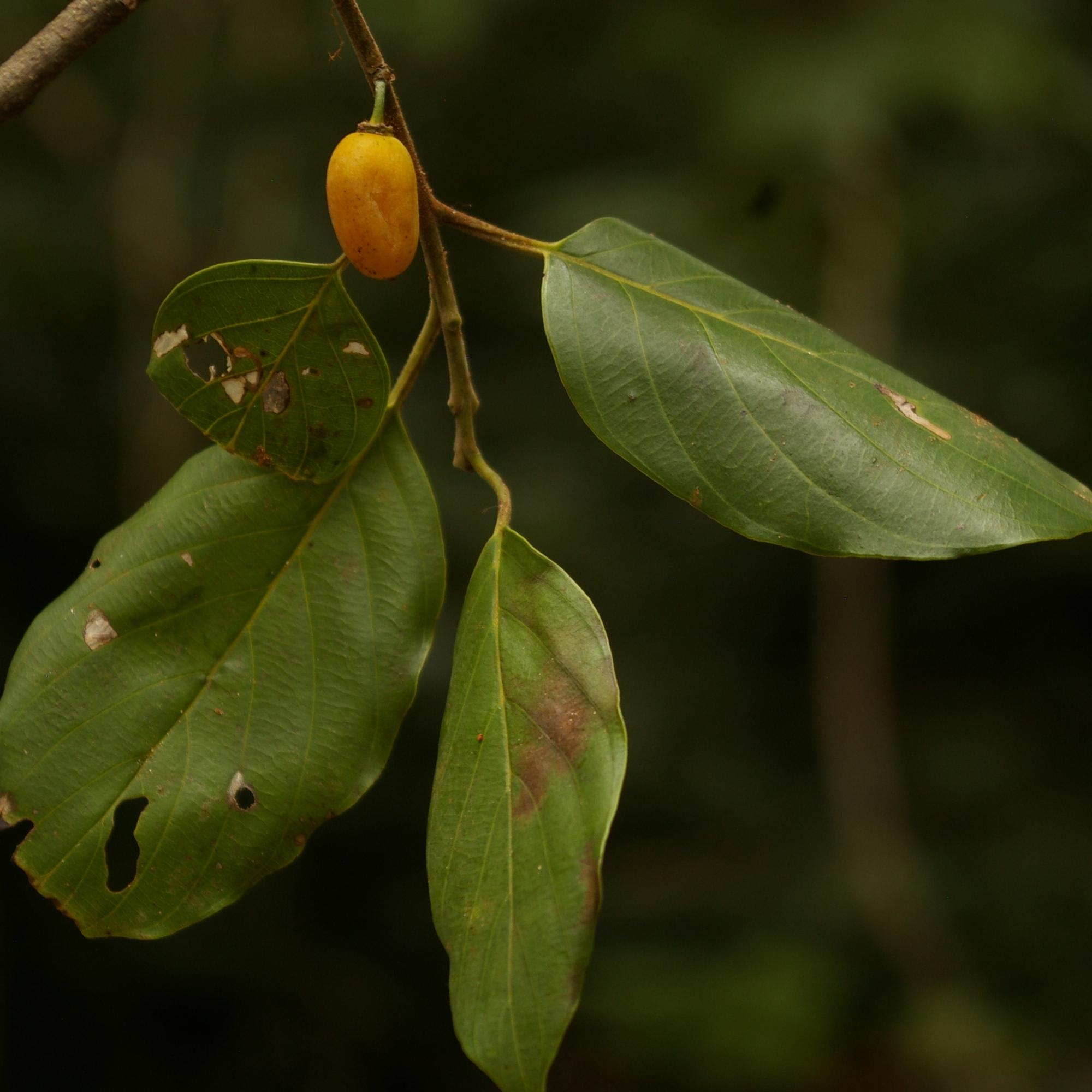 Brown Ivory leaves