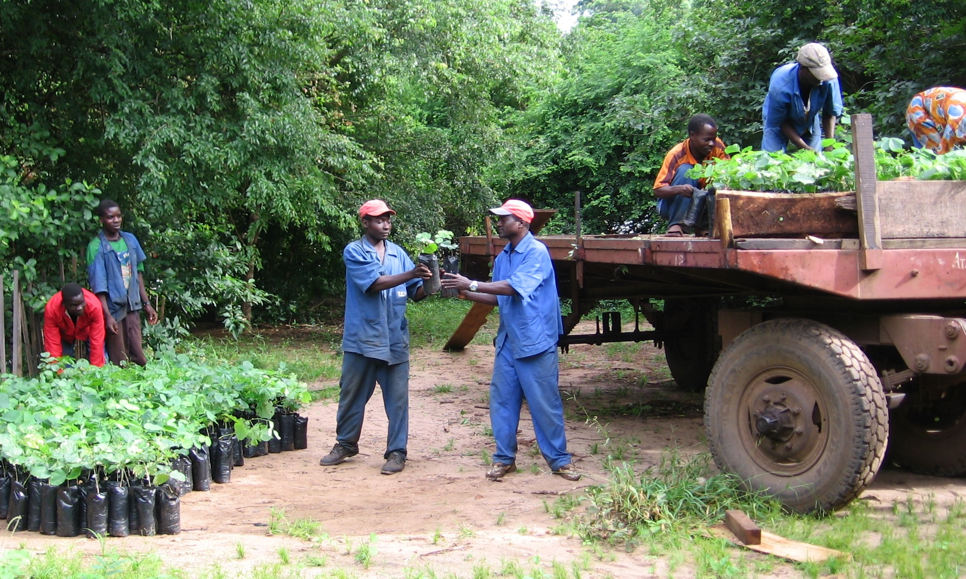 Carregamento das árvores no viveiro  - Loading trees at the nursery