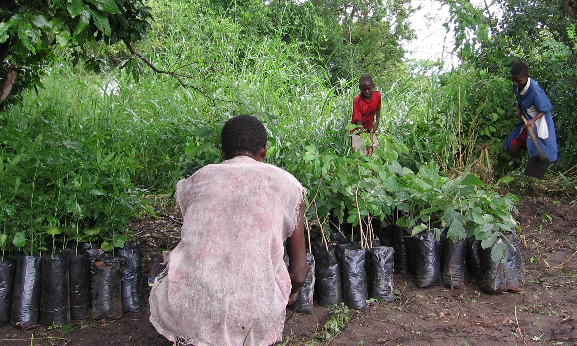 Entrega das árvores  -Delivery of saplings