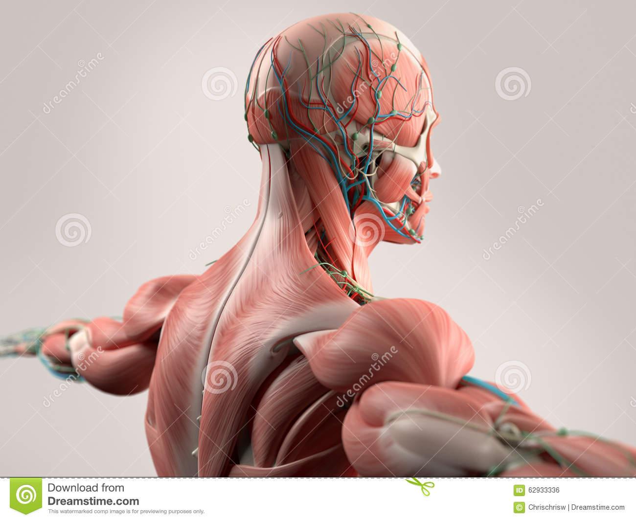 menselijke-anatomie-die-gezicht-hoofd-schouders-en-rug-tonen-62933336.jpg