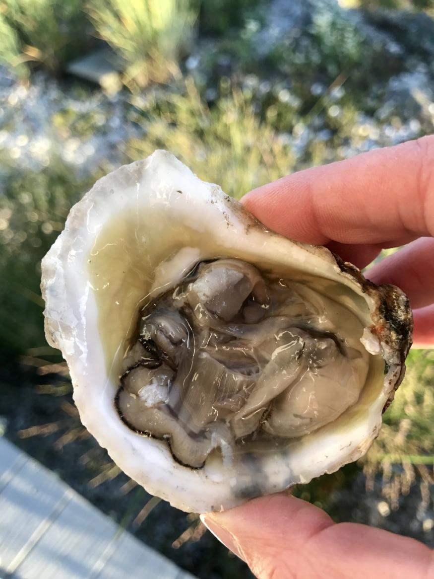 Closeup of a Hummock Island Oyster