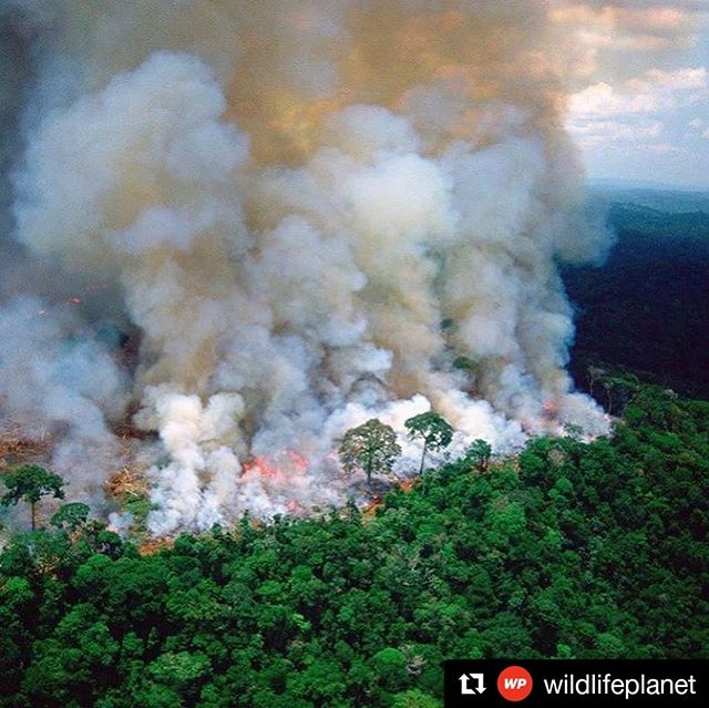 #Repost @wildlifeplanet ・・・ The lungs of the Earth are in flames. 🔥 The Brazilian Amazon (home to 1 million Indigenous people and 3 million species) has been burning for more than two weeks straight. There have been 74,000 fires in the Brazilian Amazon since the beginning of this year - a staggering 84% increase over the same period last year (National Institute for Space Research, Brazil). Scientists and conservationists attribute the accelerating deforestation to President Jair Bolsonaro, who issued an open invitation to loggers and farmers to clear the land after taking office in January.⁣ The largest rainforest in the world is a critical piece of the global climate solution. Without the Amazon, we cannot keep the Earth's warming in check.  The Amazon needs more than our prayers. So what can YOU do?⁣. 1. As an emergency response, donate to frontline Amazon groups working to defend the forest. Donate to one or all of these: @amazonfrontlines @rainforestalliance @amazonaid @amazonwatch @savingtheamazon @amazonconservationteam @wwf @rainforesttrust @rainforestactionnetwork - please comment with more!  2. Consider becoming a regular supporter of the Rainforest Alliance's community forestry initiatives across the world's most vulnerable tropical forests, including the Amazon; this approach is by far the most effective defense against deforestation and natural forest fires, but it requires deep, long-term collaboration between the communities and the public and private sectors. Link in bio.⁣ 3. Stay on top of this story and keep sharing posts, tagging news agencies and influencers.  4. Be a conscious consumer, taking care to support companies committed to responsible supply chains.⁣ Eliminate or reduce consumption of beef;  cattle ranching is one of the primary drivers of Amazon deforestation.  5. When election time comes, VOTE for leaders who understand the urgency of our climate crisis and are willing to take bold action—including strong governance and forward-thinking policy.⁣ ⁣ #WildlifePlanet #SaveTheAmazon #PrayForAmazonia #AmazonRainforest