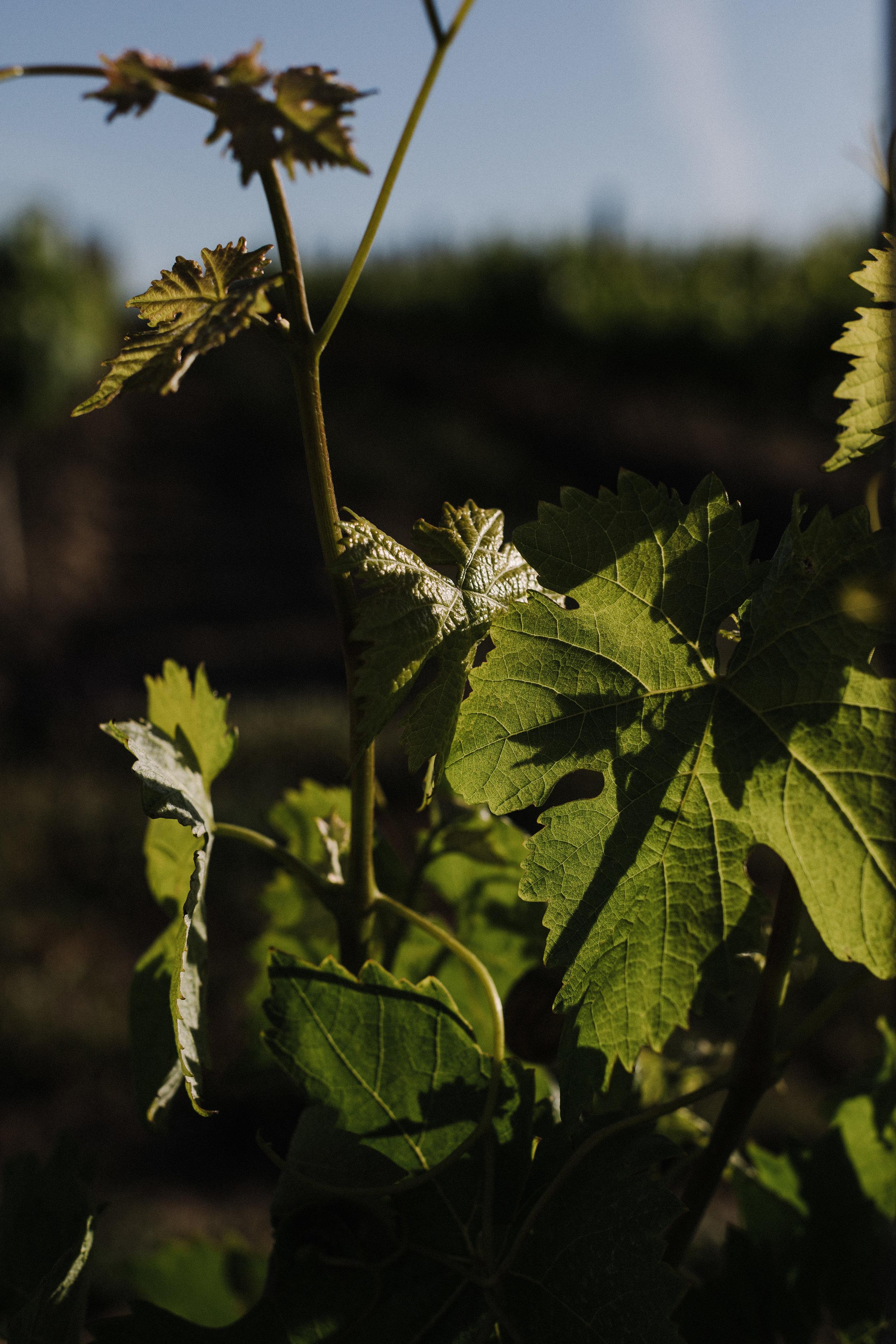 grapevine closeup.jpg