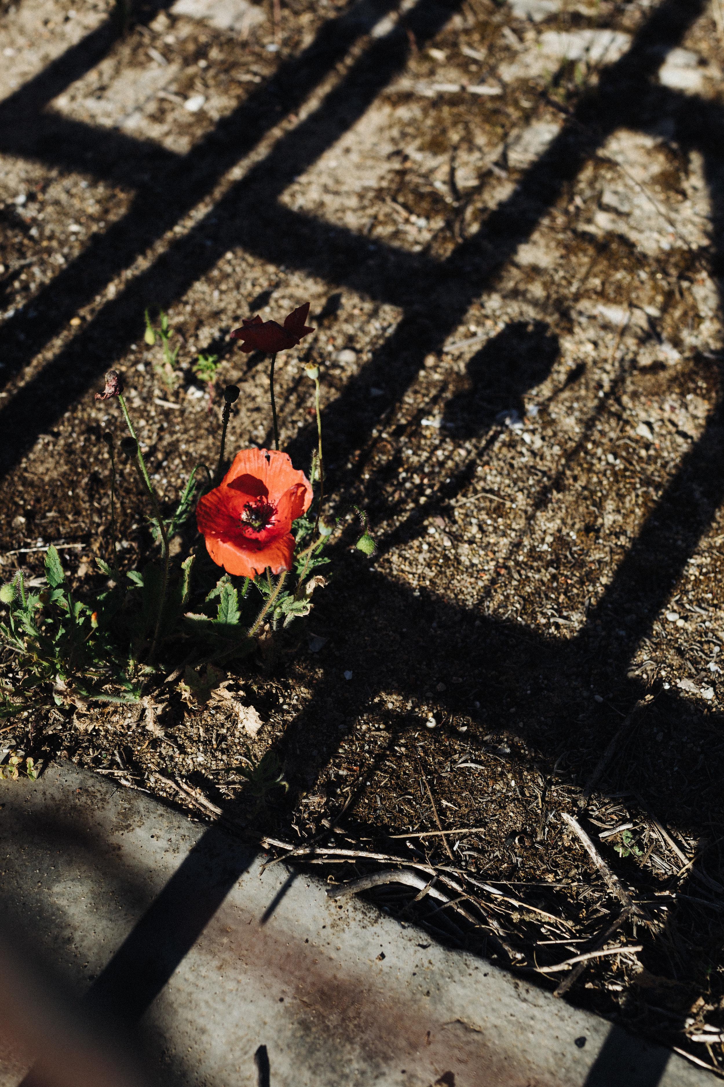 lone poppy.jpg