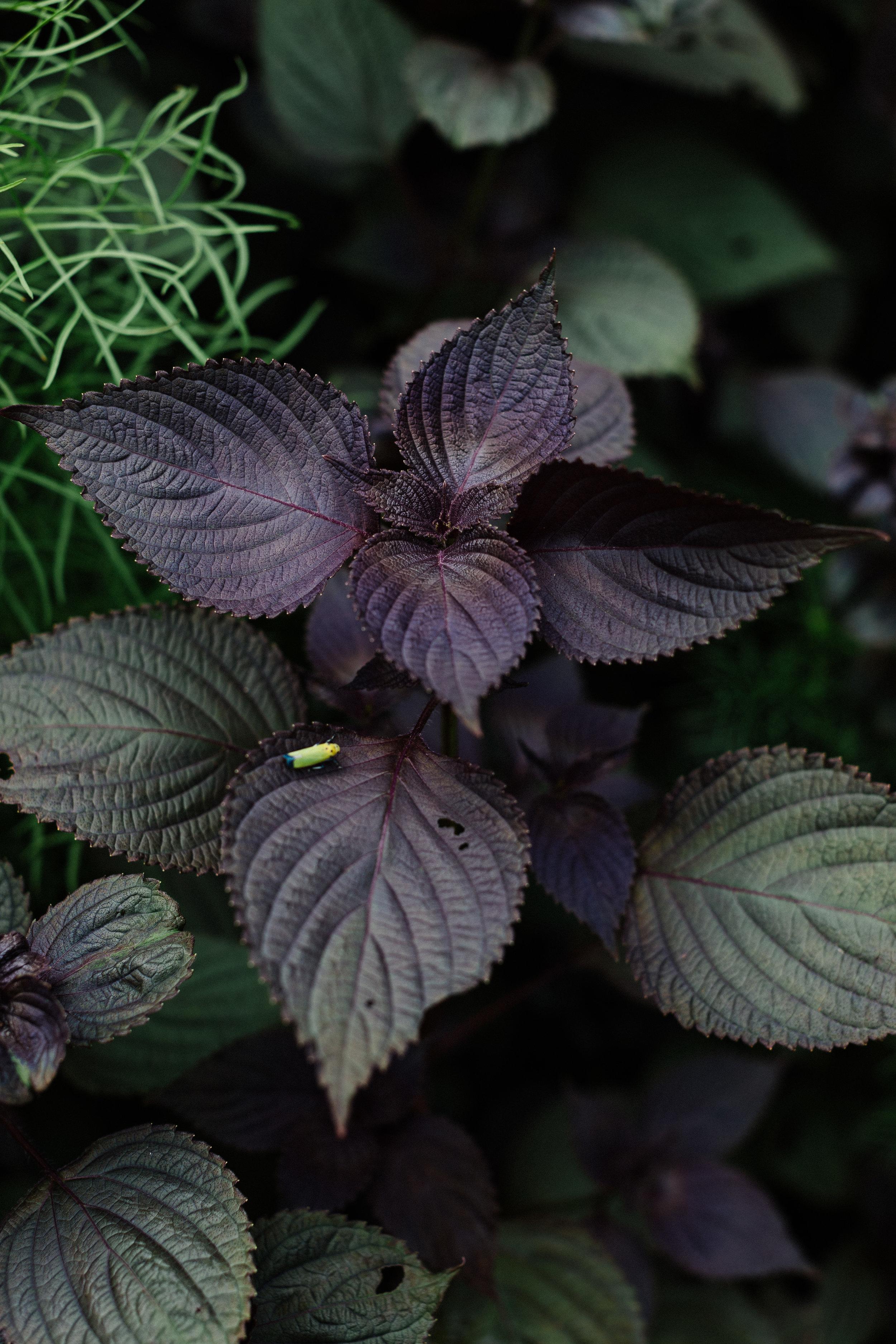 Purple shiso.jpg