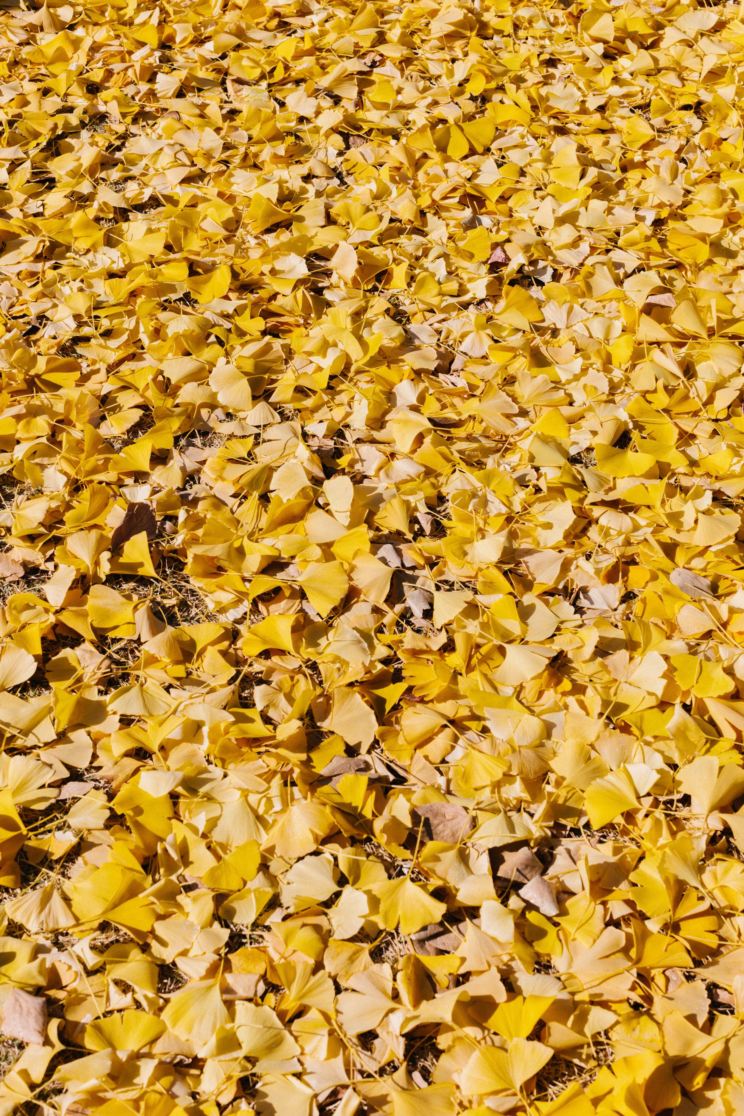 Gingko Leaves closeup.jpg