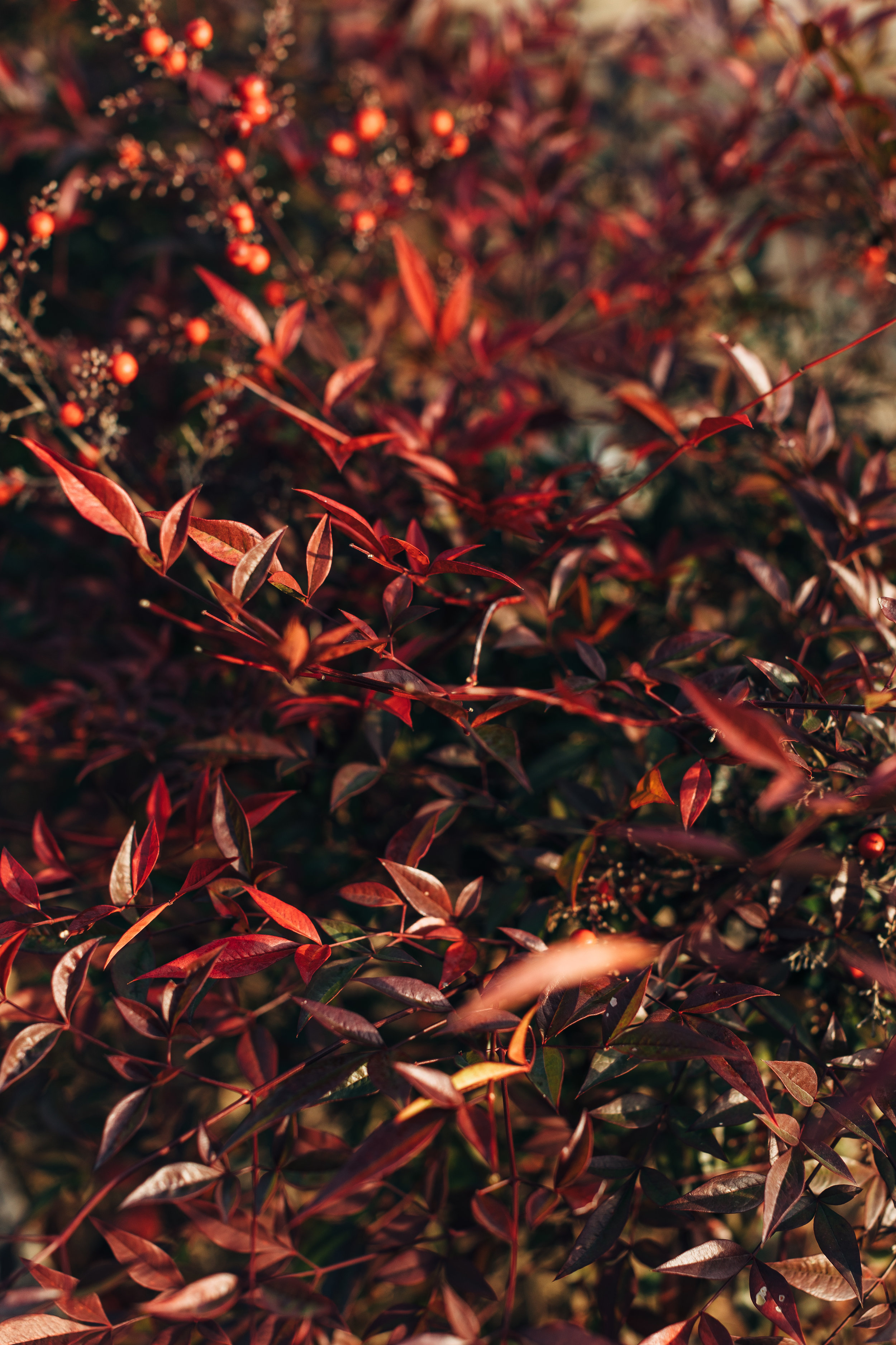 Jinju Red Berries.jpg