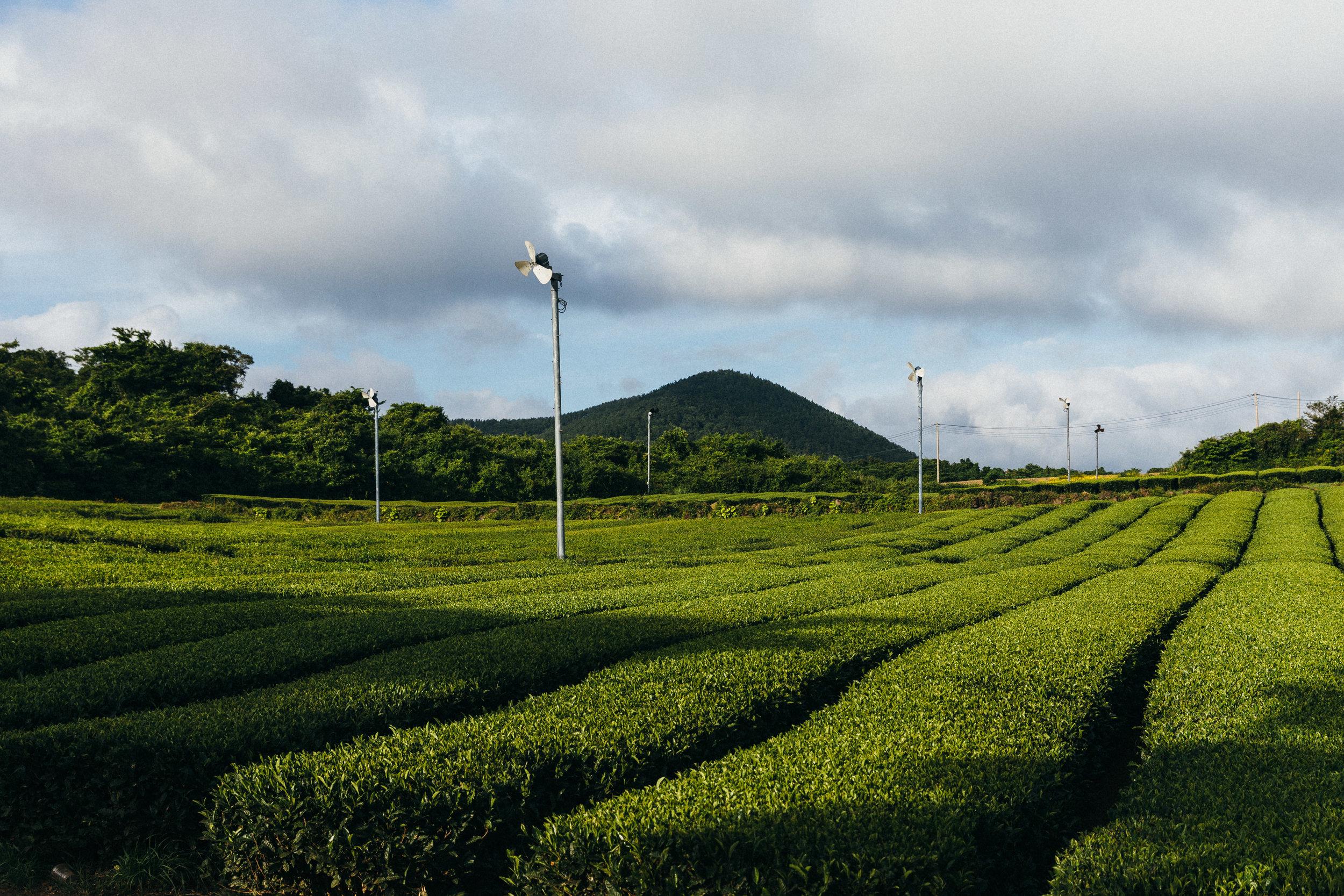 Osulloc field.jpg