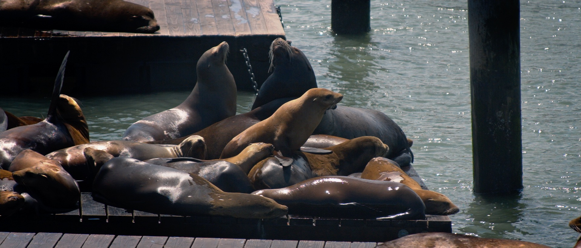 Sea Lions at Fisherman's Warf in SF