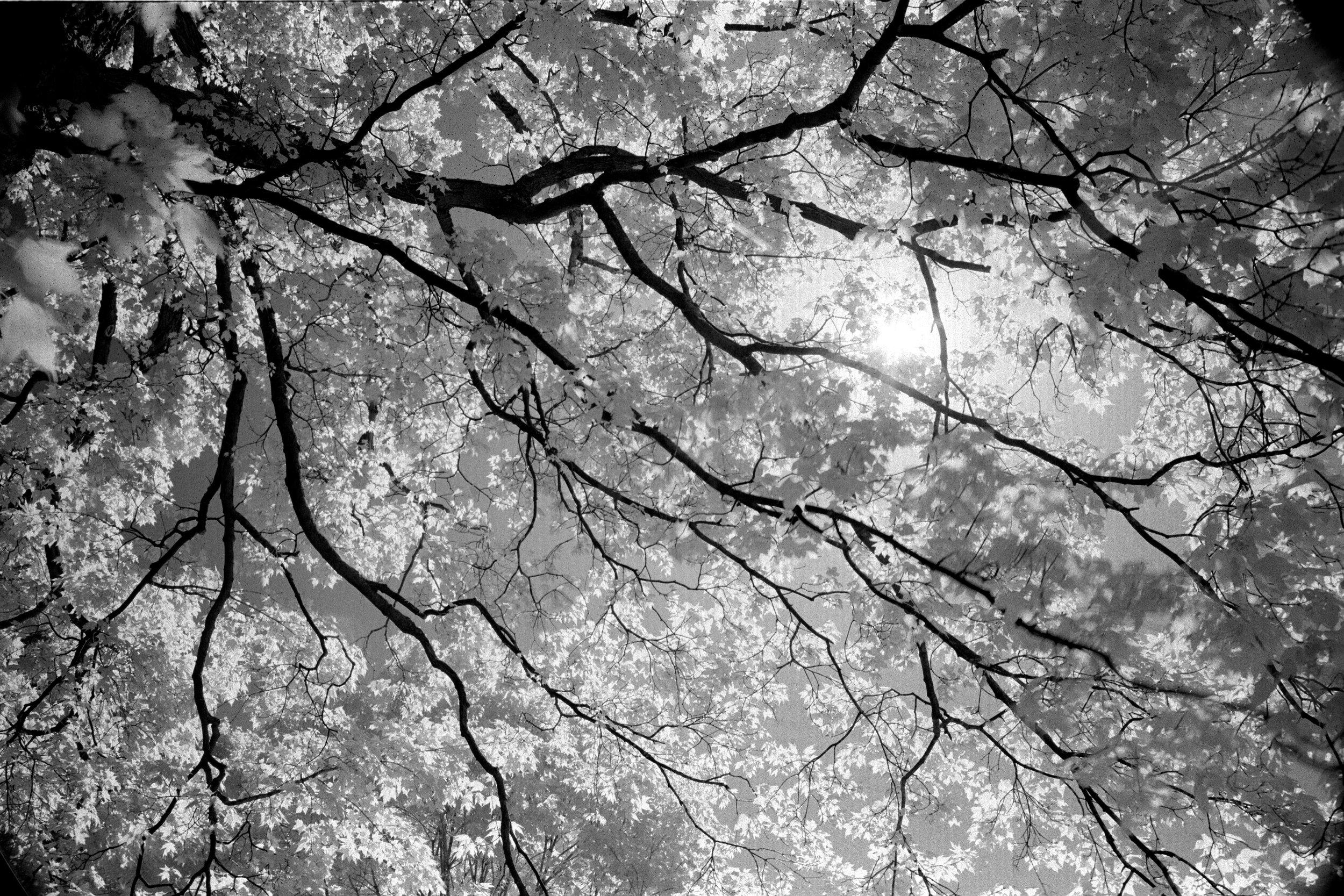 Spring Foliage at Principia College. Spring 2012. Canon EOS 630, 17-40L, Cokin 87A, Rollei IR 400