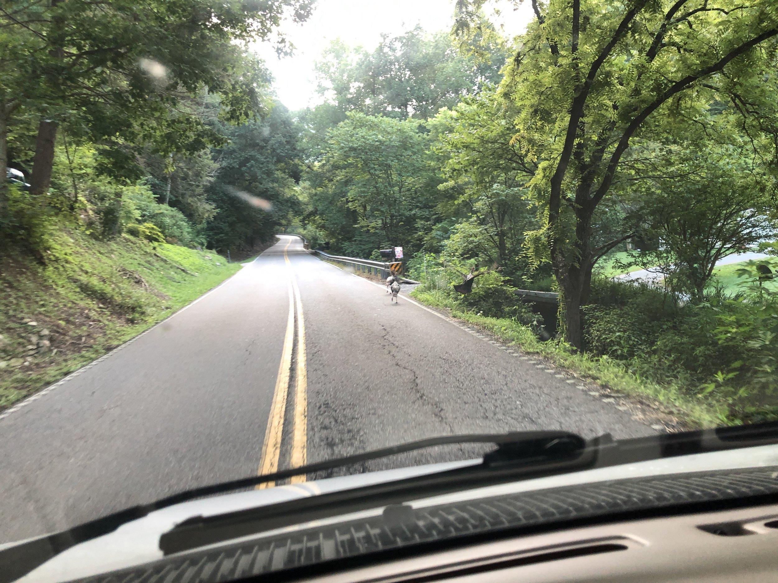 Them's wild turkeys in the road!