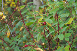 Rose hips from the Alberta Rose (Prickly Wild Rose)