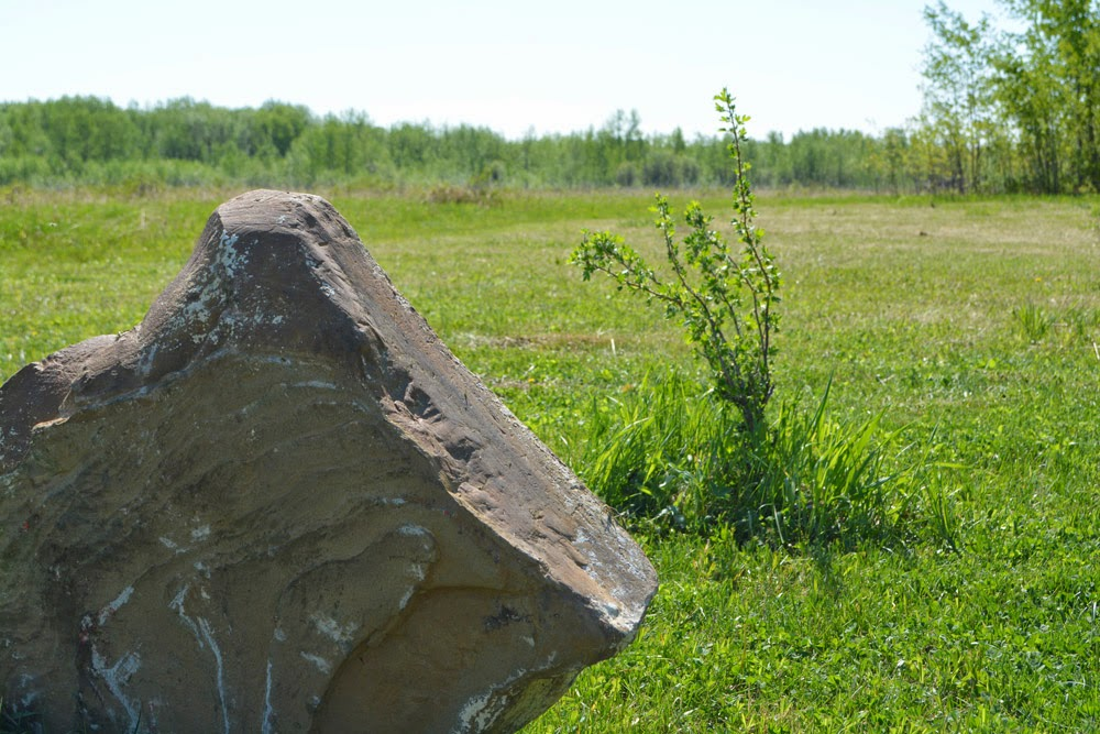 "A giant rock Jason brought as an accent in the middle of our ""orchard""--two saskatoon and two black currant bushes I planted last fall."