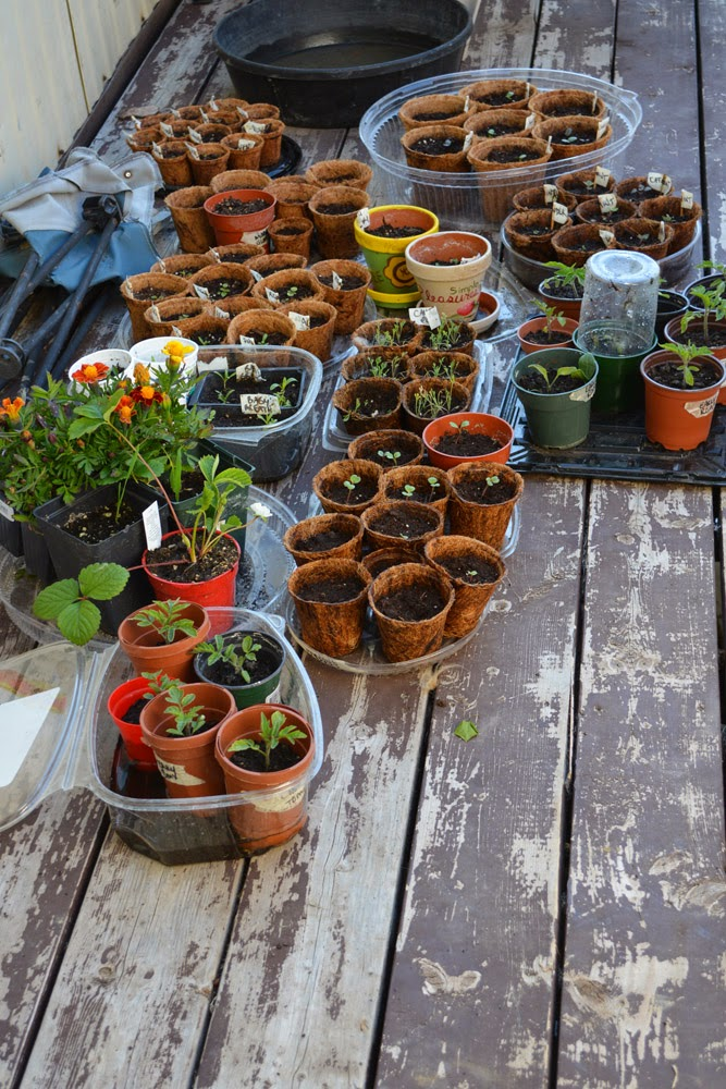 Frost-tender plants and seedlings growing on the deck.