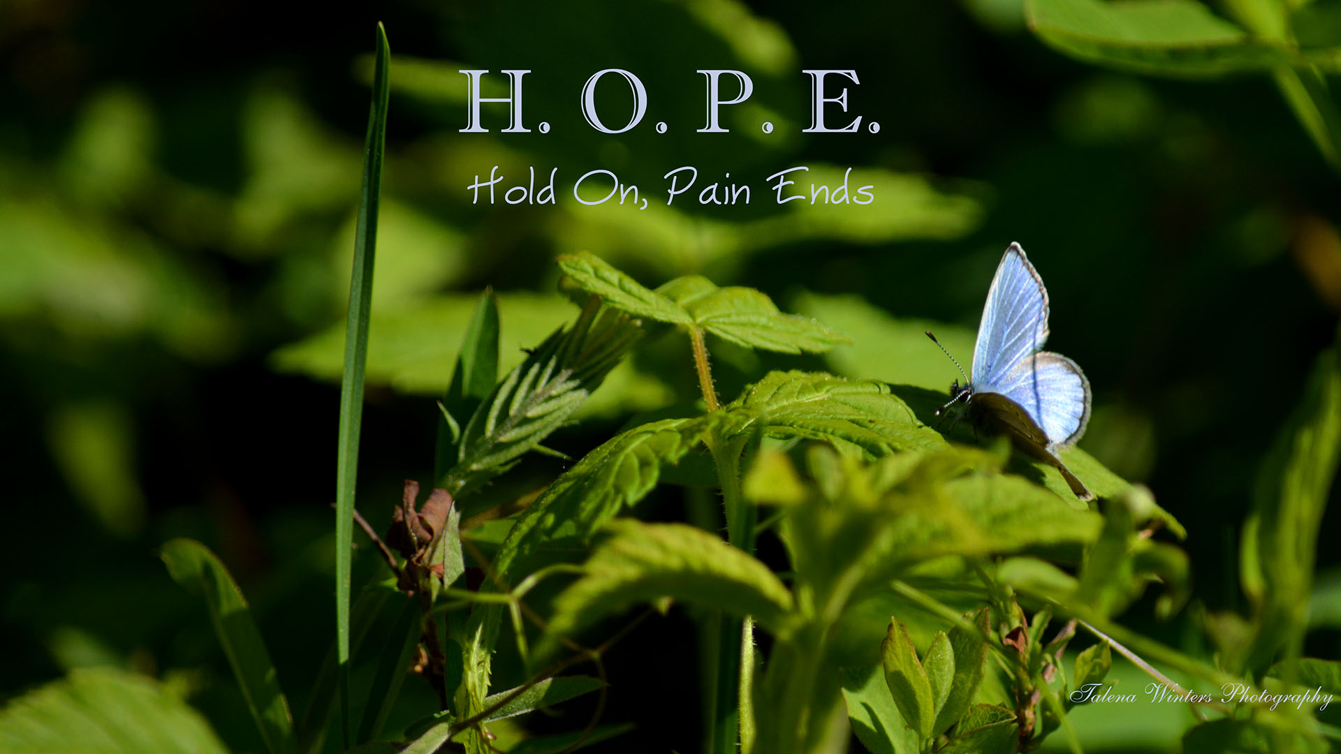 HOPE - Hang On, Pain Ends with Blue Azure butterfly wallpaper by Talena Winters. www.talenawinters.com
