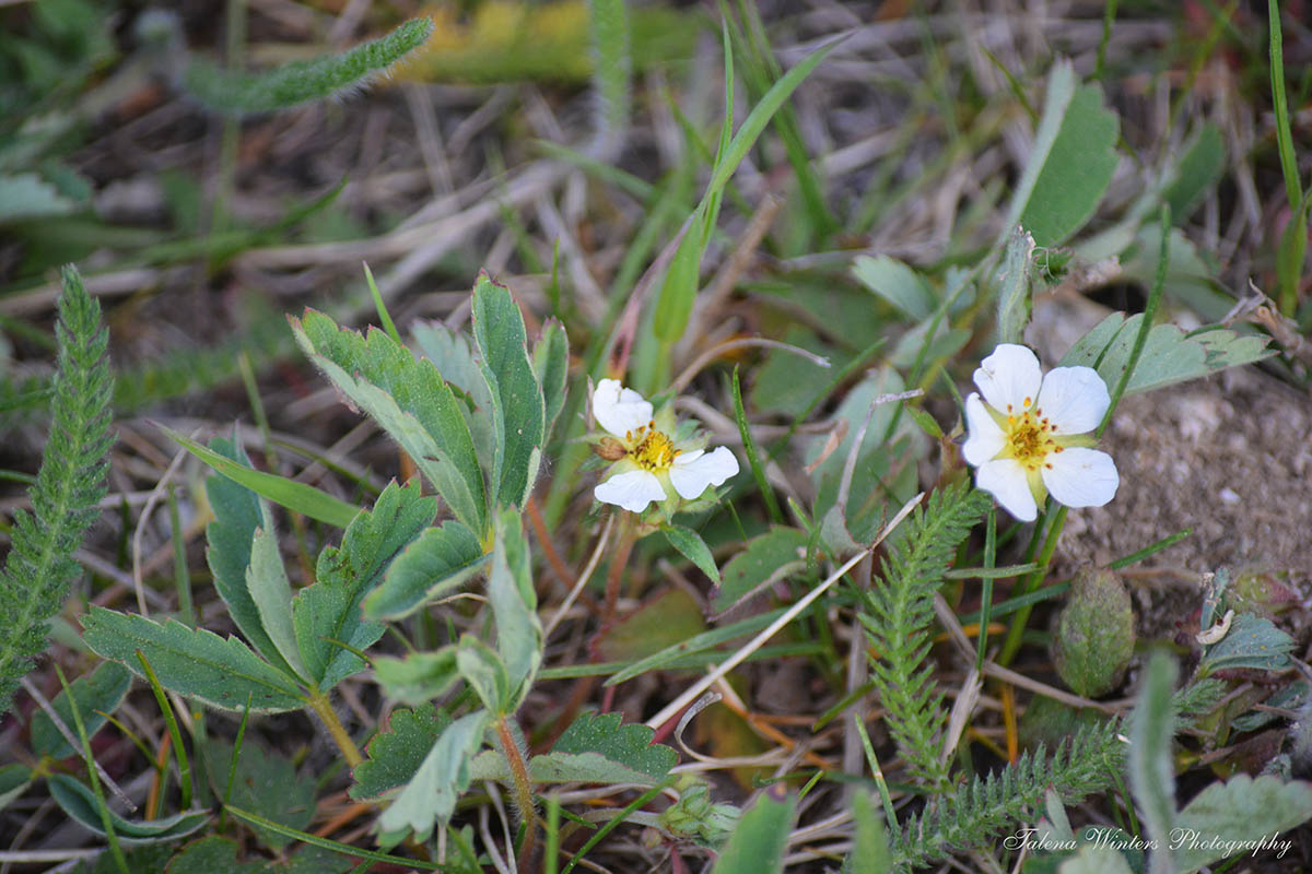 "Wild, ""Woodland Strawberries"" in bloom, with some yarrow leaves for texture. :-)"