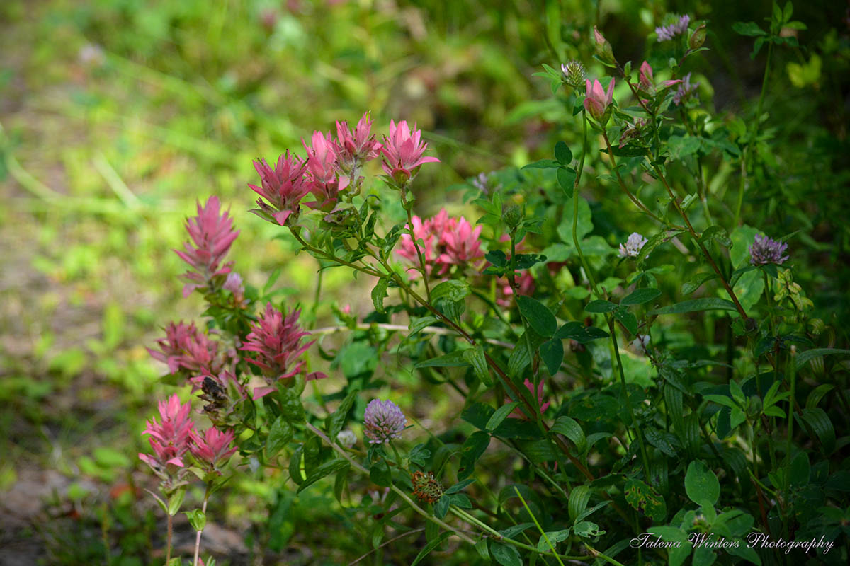 Indian Paintbrush, one of my favourite wildflowers, growing with some clover.