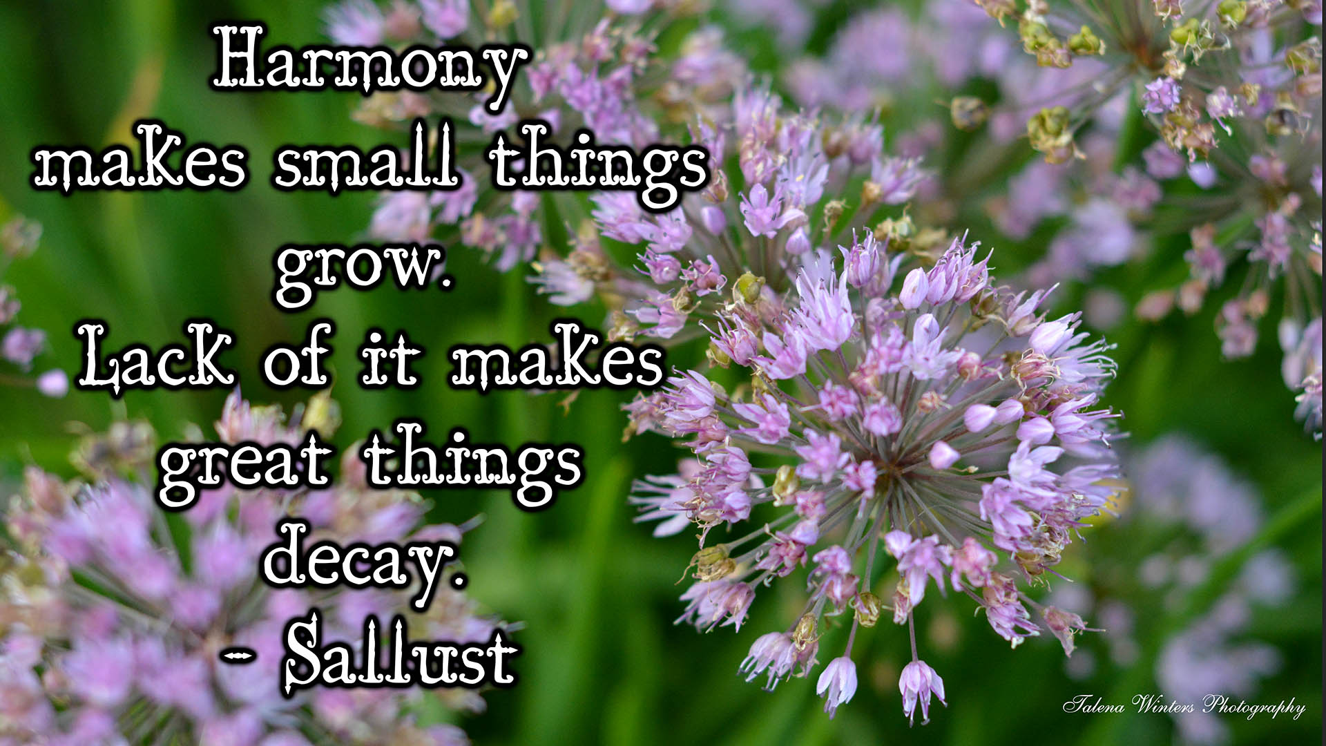 """Harmony makes small things grow. Lack of it makes great things decay."" - Sallust. Desktop wallpaper, 1920 x 1080 resolution, onion flowers. More free wallpapers  here ."