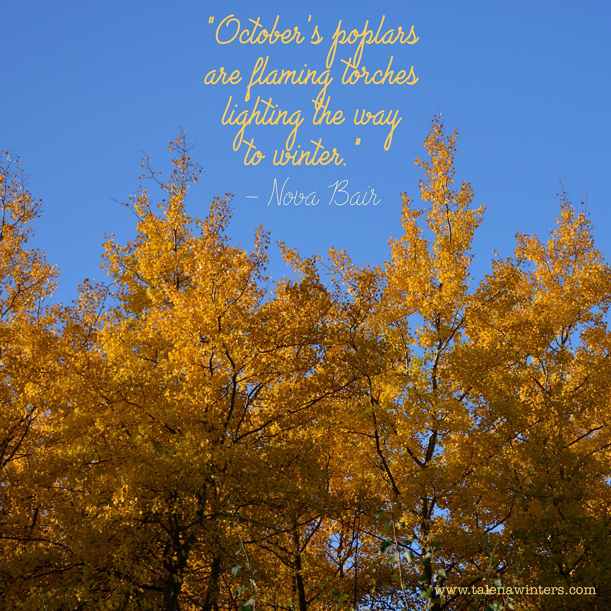 Fall. Poplars. Blue, blue sky. I love this time of year.