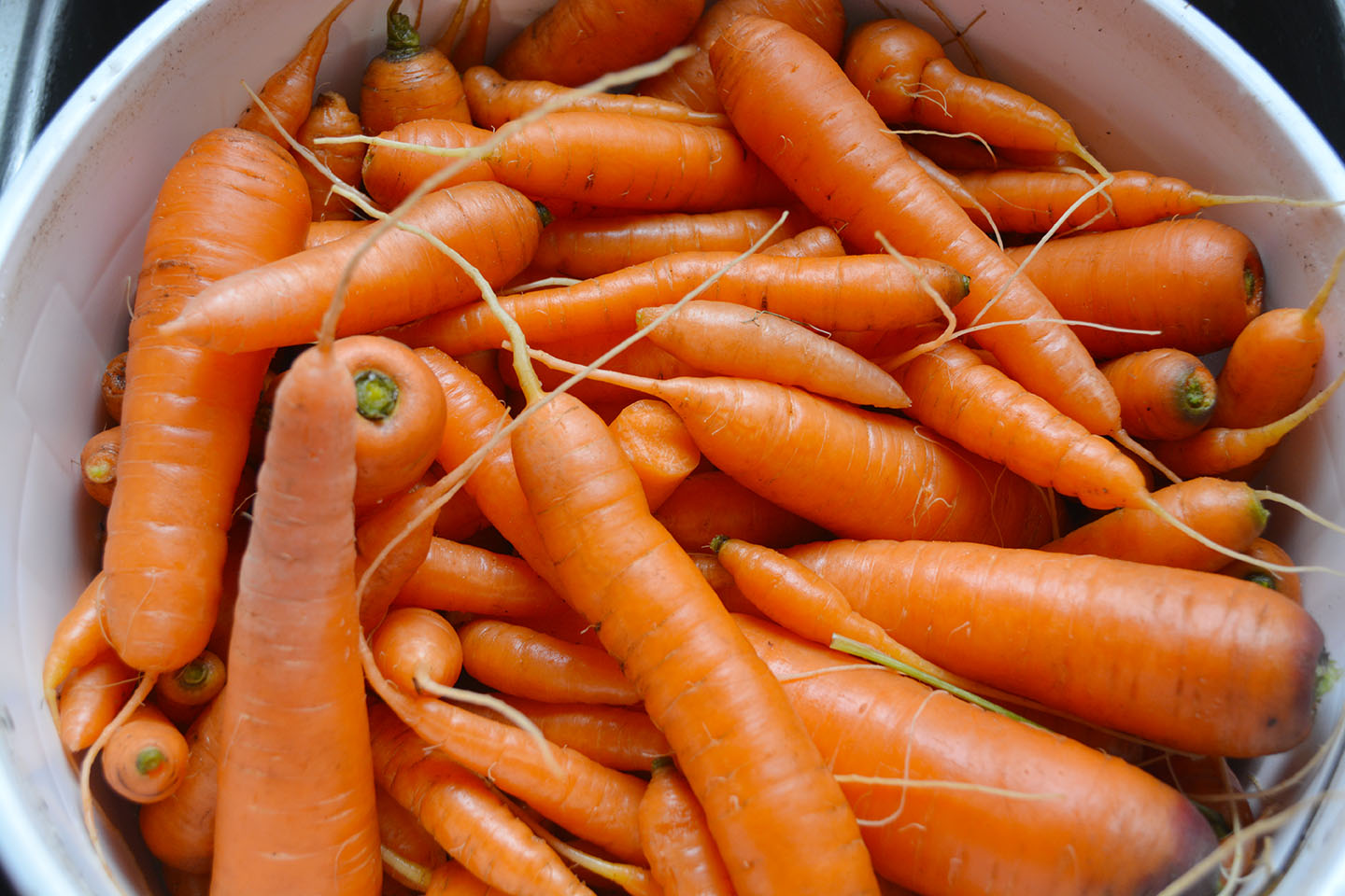 The ground had already started to freeze by the time I dug up my carrots, but I still got most of them up. They reached a decent size, considering how neglected they were in terms of thinning and watering. (These are sweet Nantes variety, so not a huge carrot.)