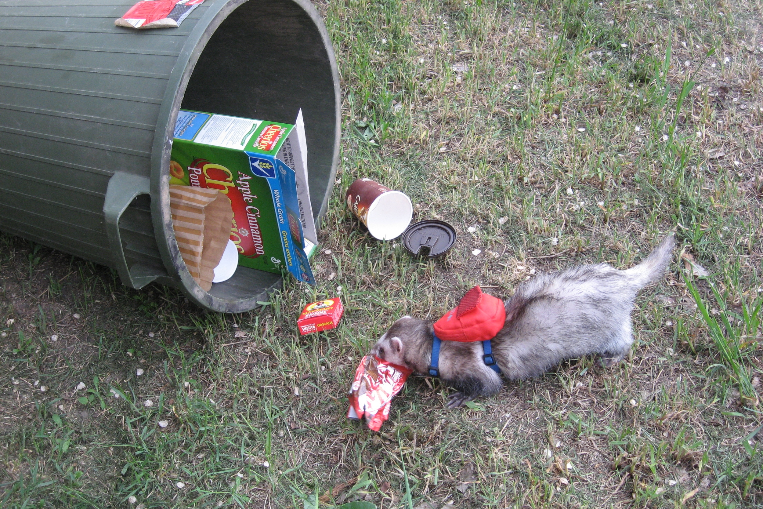 Here Duke is demonstratingwhat he looked like when he rummaged through the trash for scraps of food. He'shappy the skunk bully was not here to help him re-enact this photo like in his book.