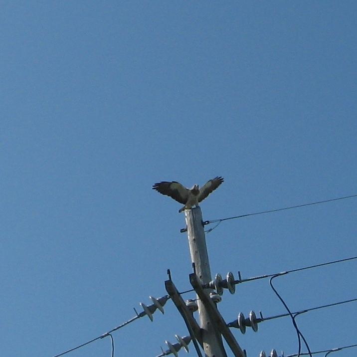 Hawks were landing on nearby power poles, watching Duke's every move.
