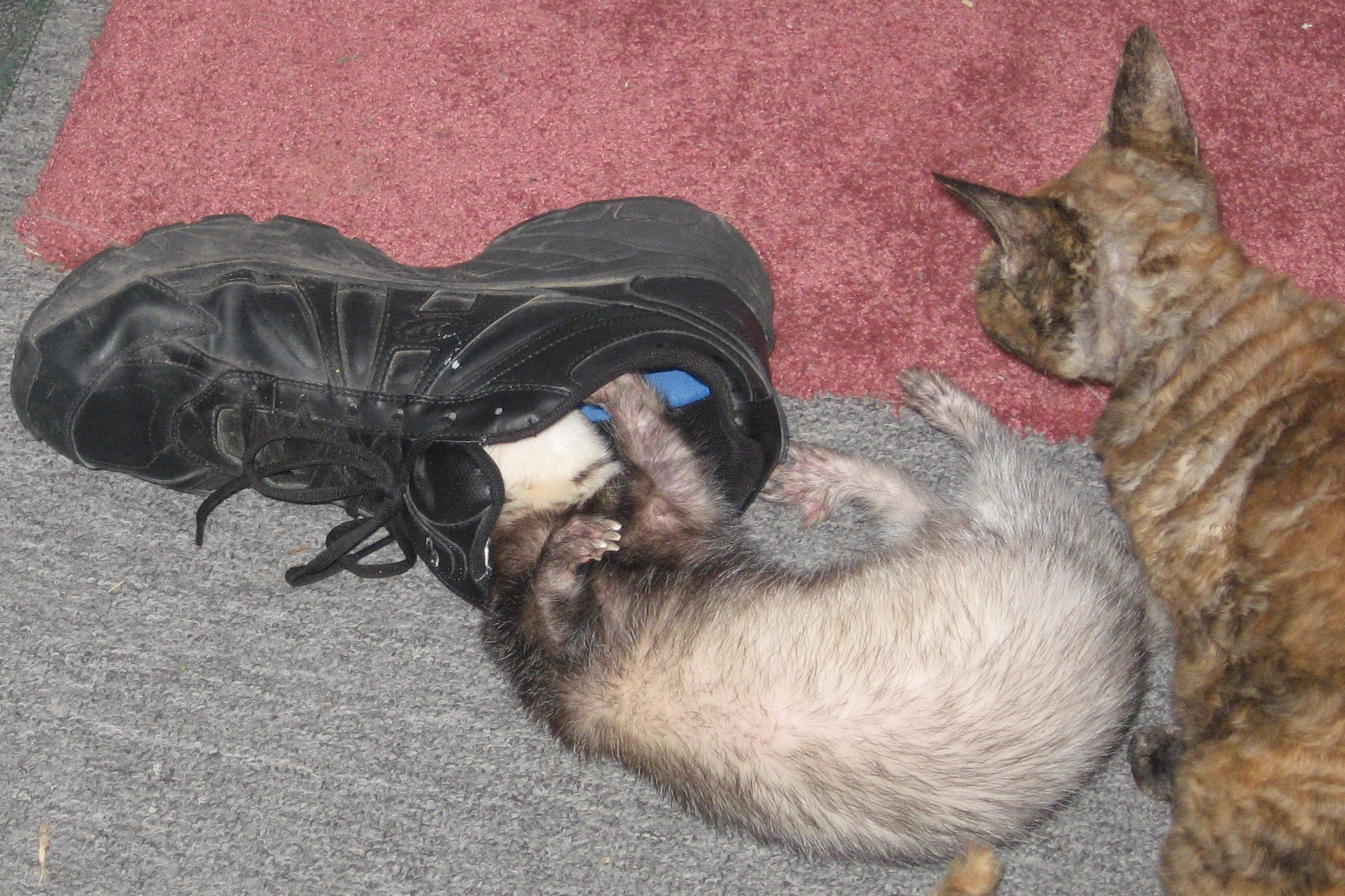 Duke can't resist a smelly shoe. His cat friend wonders what all the fuss is about.