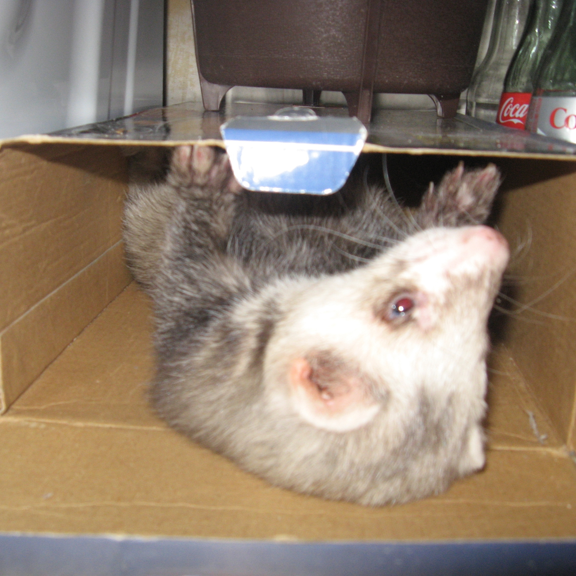 Duke loves to play in empty boxes.