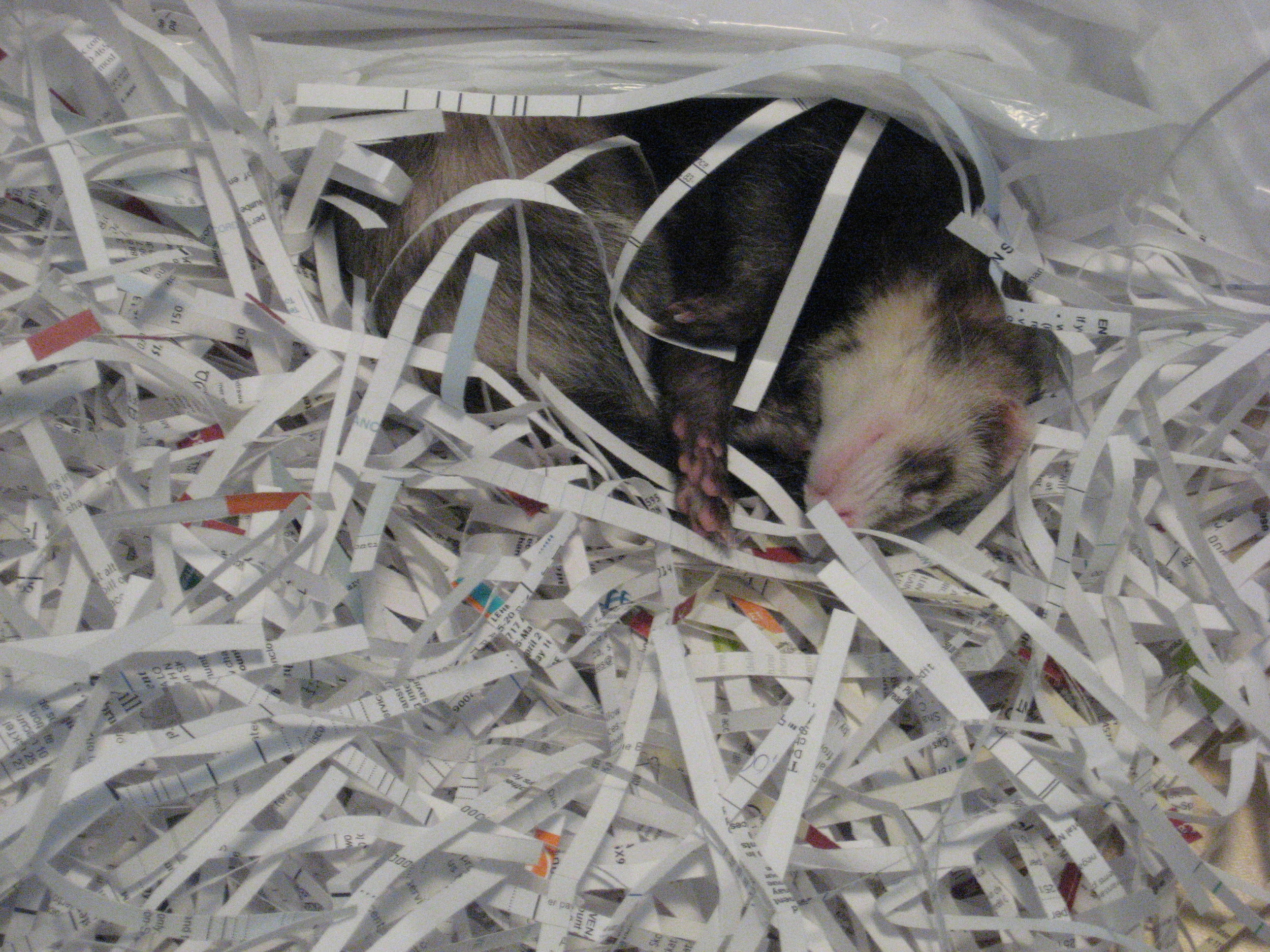 In a pile of shredded paper