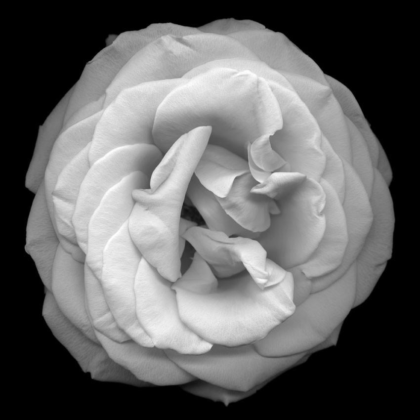 HUANG XU     Flower No. 8  2011 Giclee Print