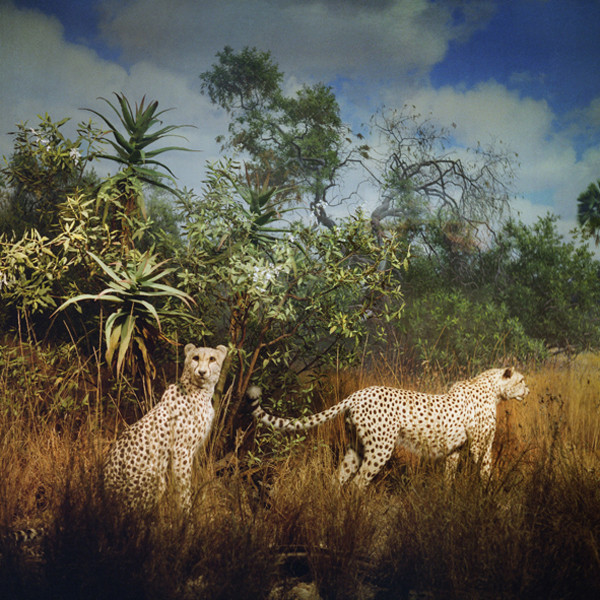 ANNE ZAHALKA     Big Cats  2006/2007 Type C Photograph edition of 10   80 x 80 cm