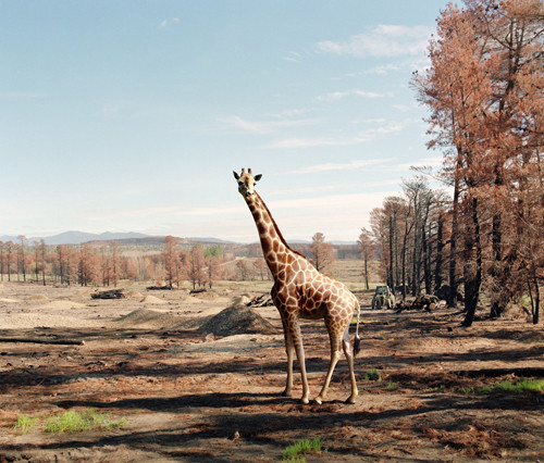 ANNE ZAHALKA     Burnt Out Pine Forest, Canberra  2003-06 Type C photograph edition of 12 115 x 145 cm