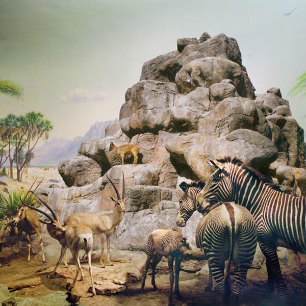 ANNE ZAHALKA     African Mammals & Himalayan Tarh  2006/2007 Type C Photograph edition of 10   80 x 80 cm