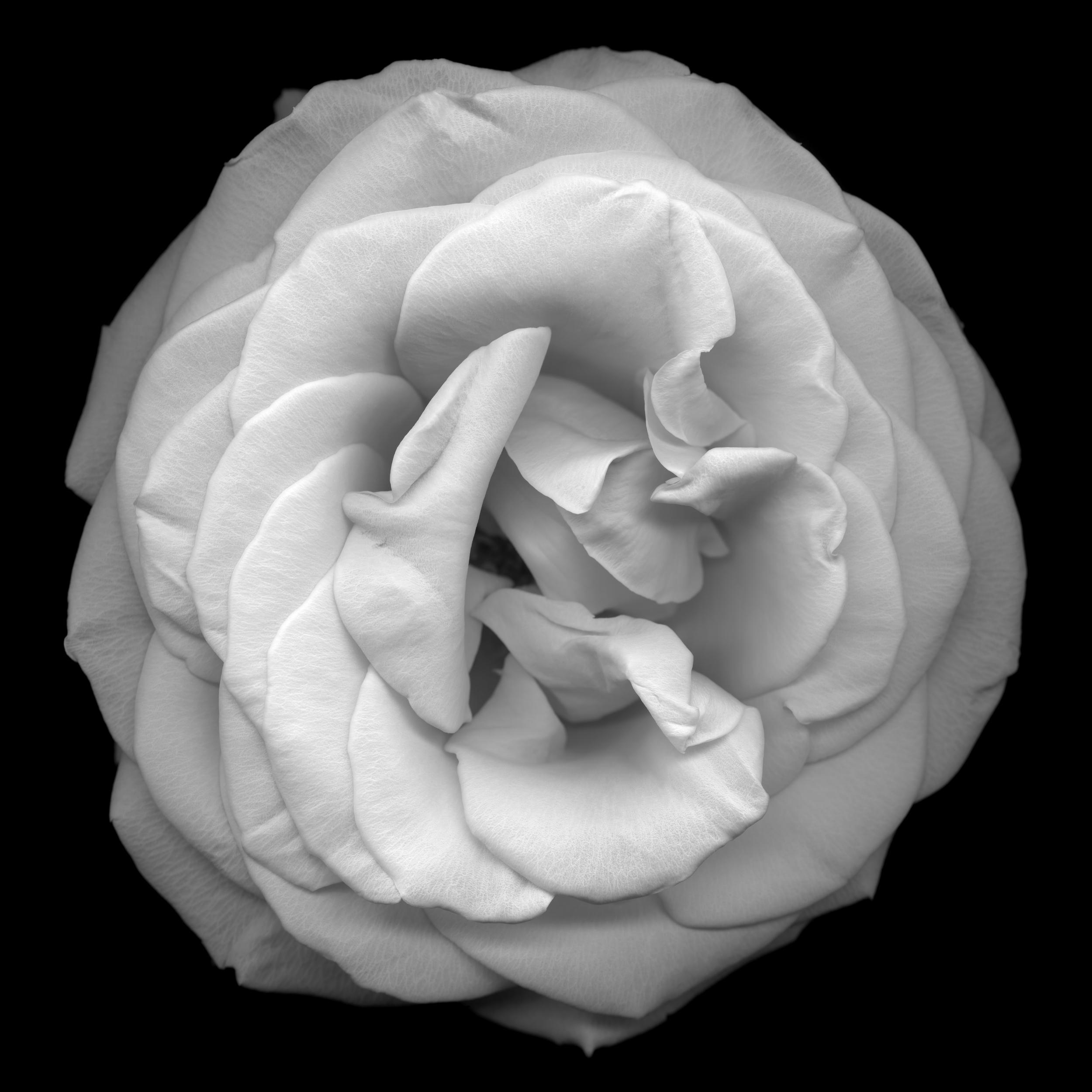 Flower No. 8, 2011,Giclee Print, 120 x 120 cm