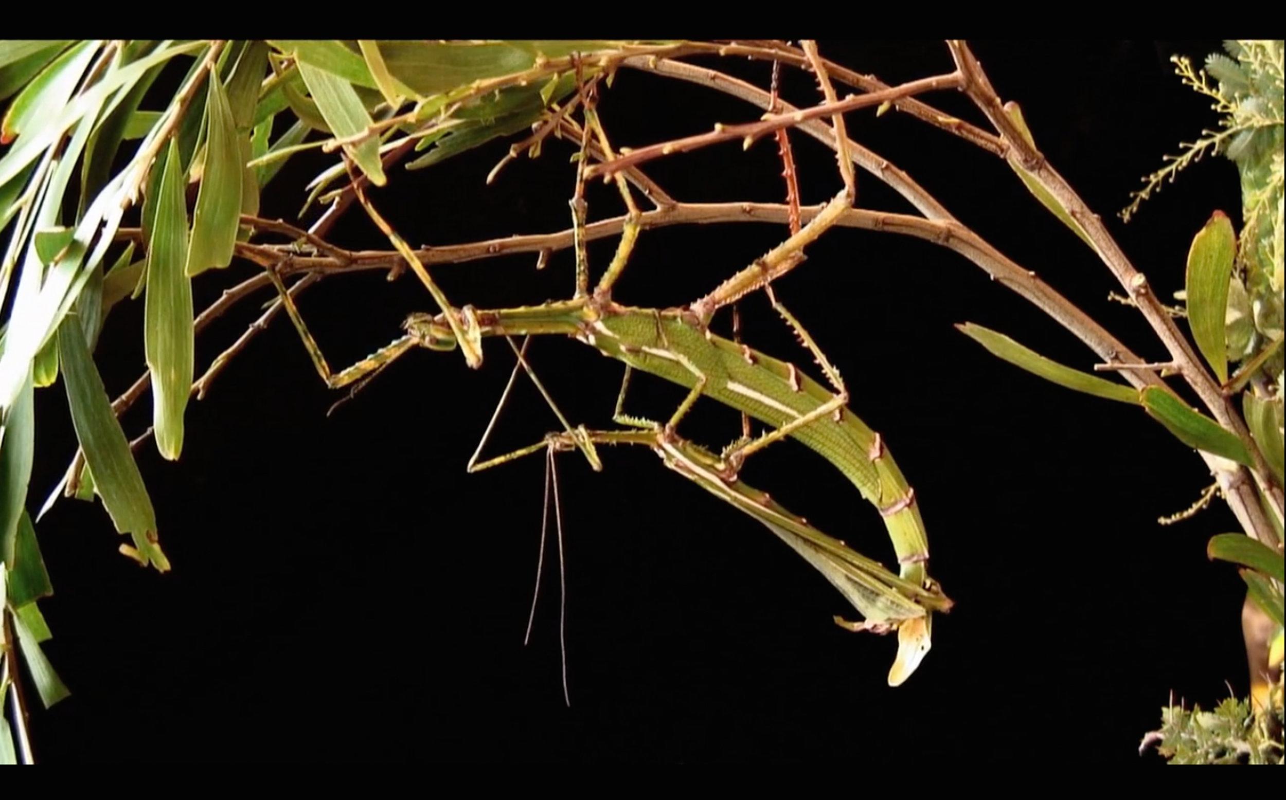 Maria Fernanda Cardoso,  Stick Insect's Most Intimate Moments , 2008-2011, single channel HD video, colour, 37min.