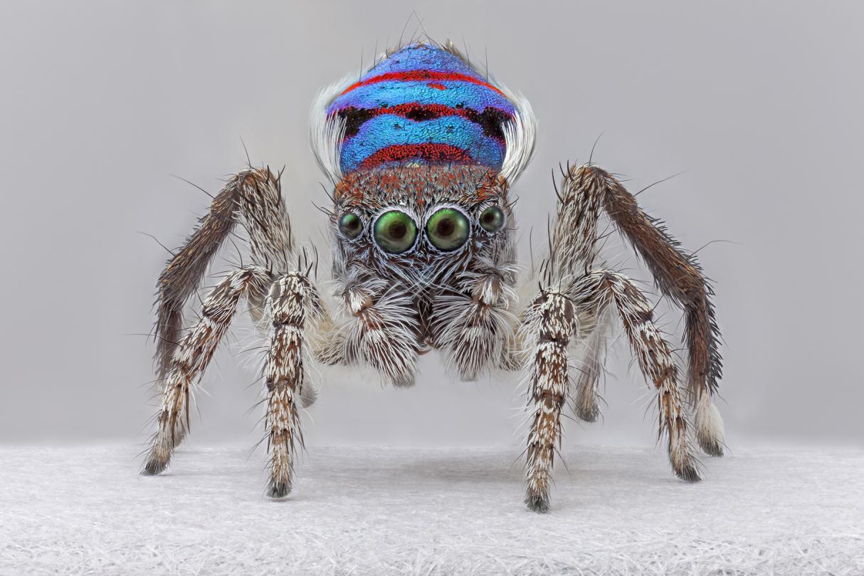 Maria Fernanda Cardoso,  Male peacock spider, whole body, Maratus speciosus , pigment print, 2018, 152 x 152 cm.