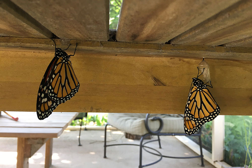 monarchs-7.jpg