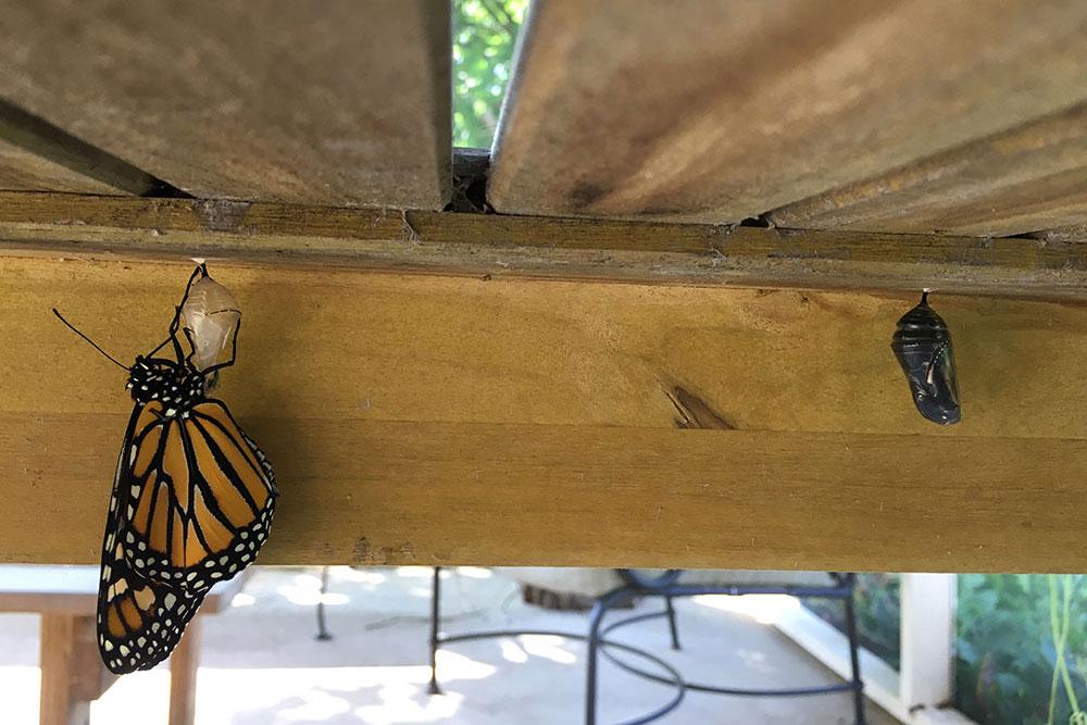 monarchs-6.jpg