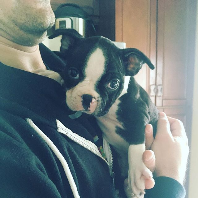 Meet our newest friend George!! #eastsidedogwalkers #puppylove #bostonterrier #7weeks #ehrmergherd #texasisthereason #bostonpuppy #sundayfunday