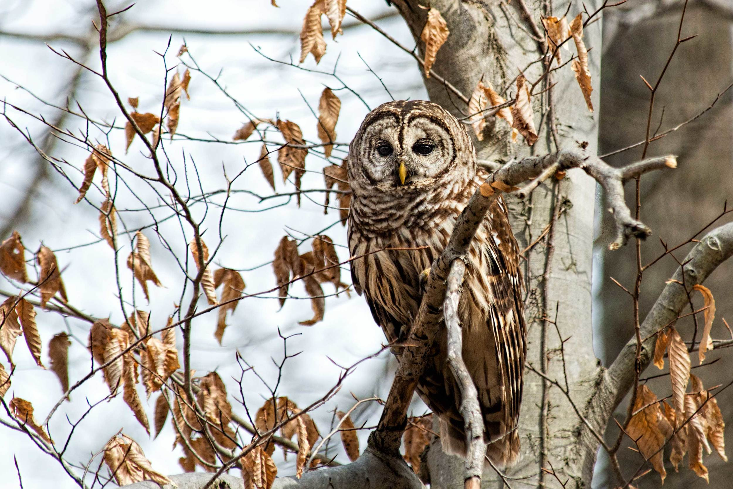 barred-owl-in-fall-tree.jpg