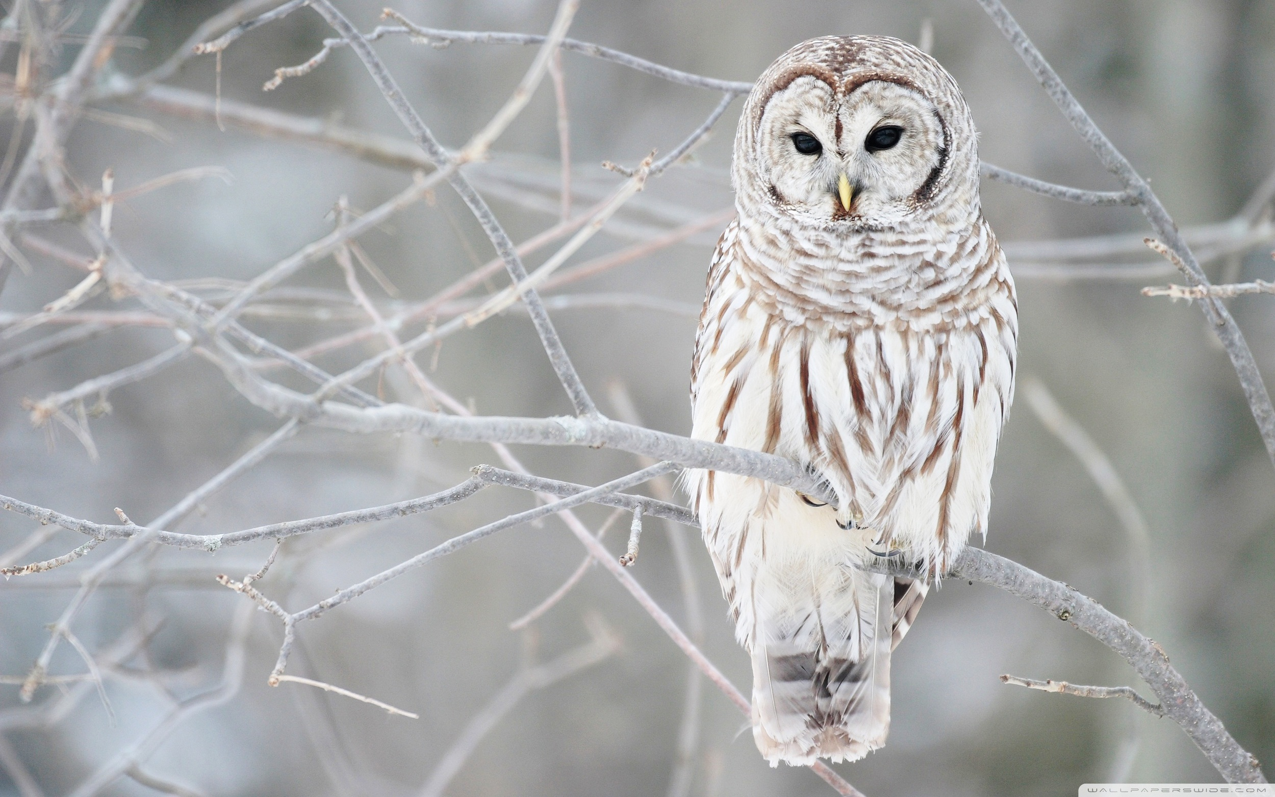 white_owl-wide.jpg
