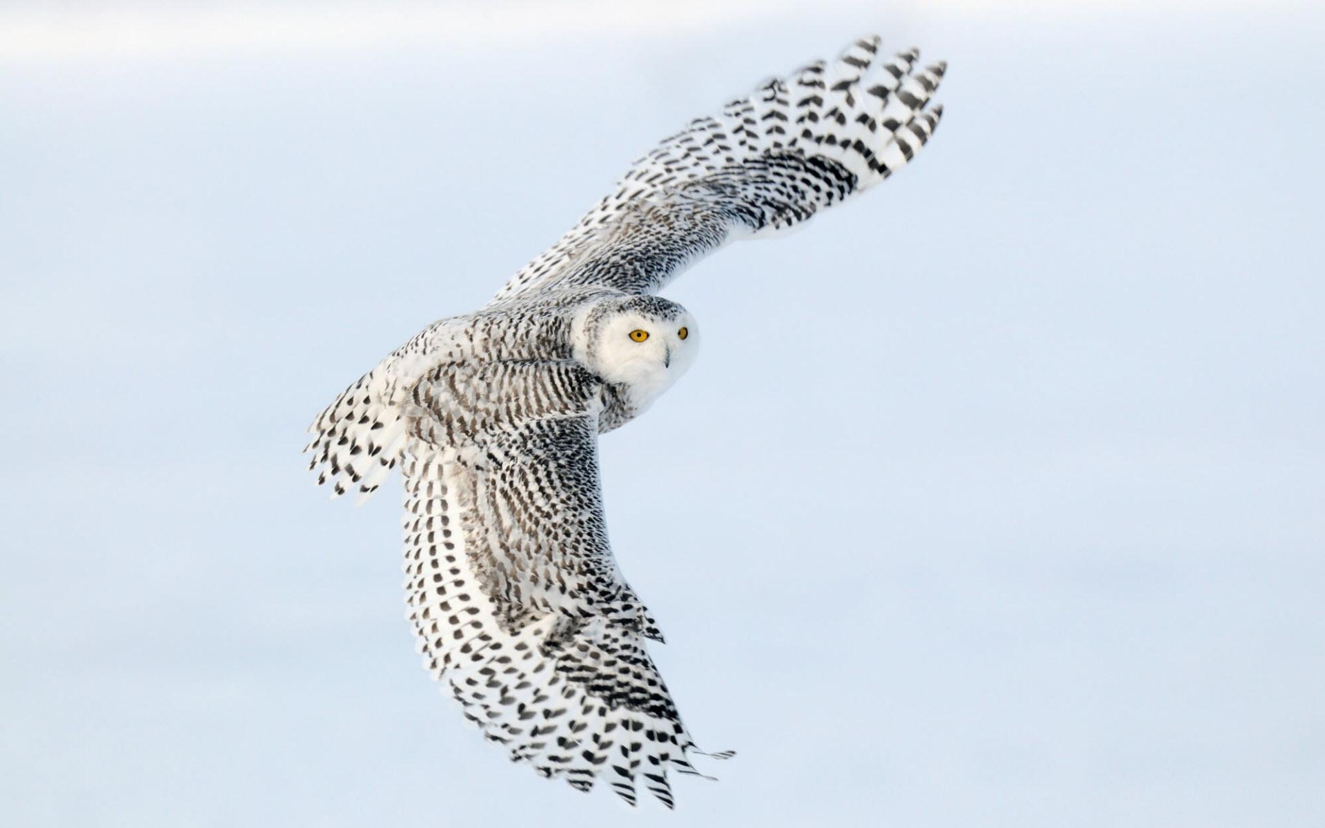 snowy_owl_2-wide.jpg