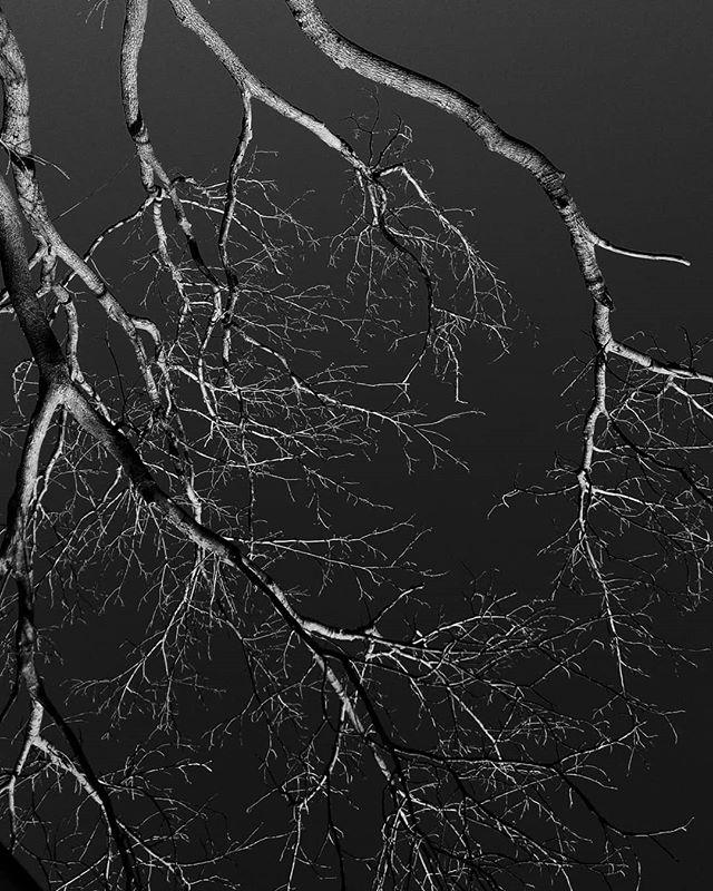 Bronchi . . . #maine #trees #inverted #blackandwhite #blackandwhitephotography