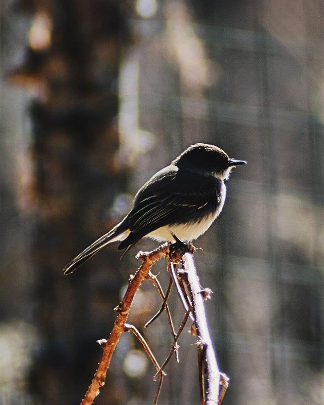Eastern Phoebe posing . . . #maine #falmouth #PierceBirds #easternphoebe #birding #birdphotography