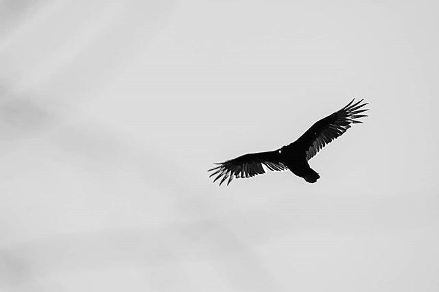 Turkey Vulture flyby 🦃🦅 . . . . #maine #falmouth #turkeyvulture #PierceBirds #blackandwhite #blackandwhitephotography #birding #birdphotography #birdphoto #birdpics
