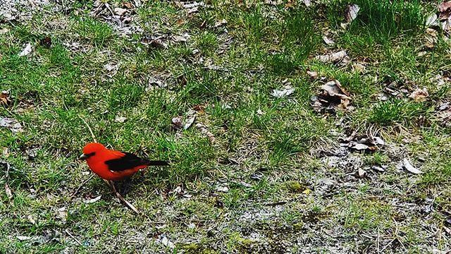New friend, scarlet tanager 🐦 . . . . #maine #sebagolake #PierceBirds #scarlettanager #bird #songbird