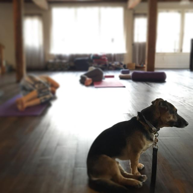 My little assistant did pretty well in his first yoga class today! ❤️🐕✨