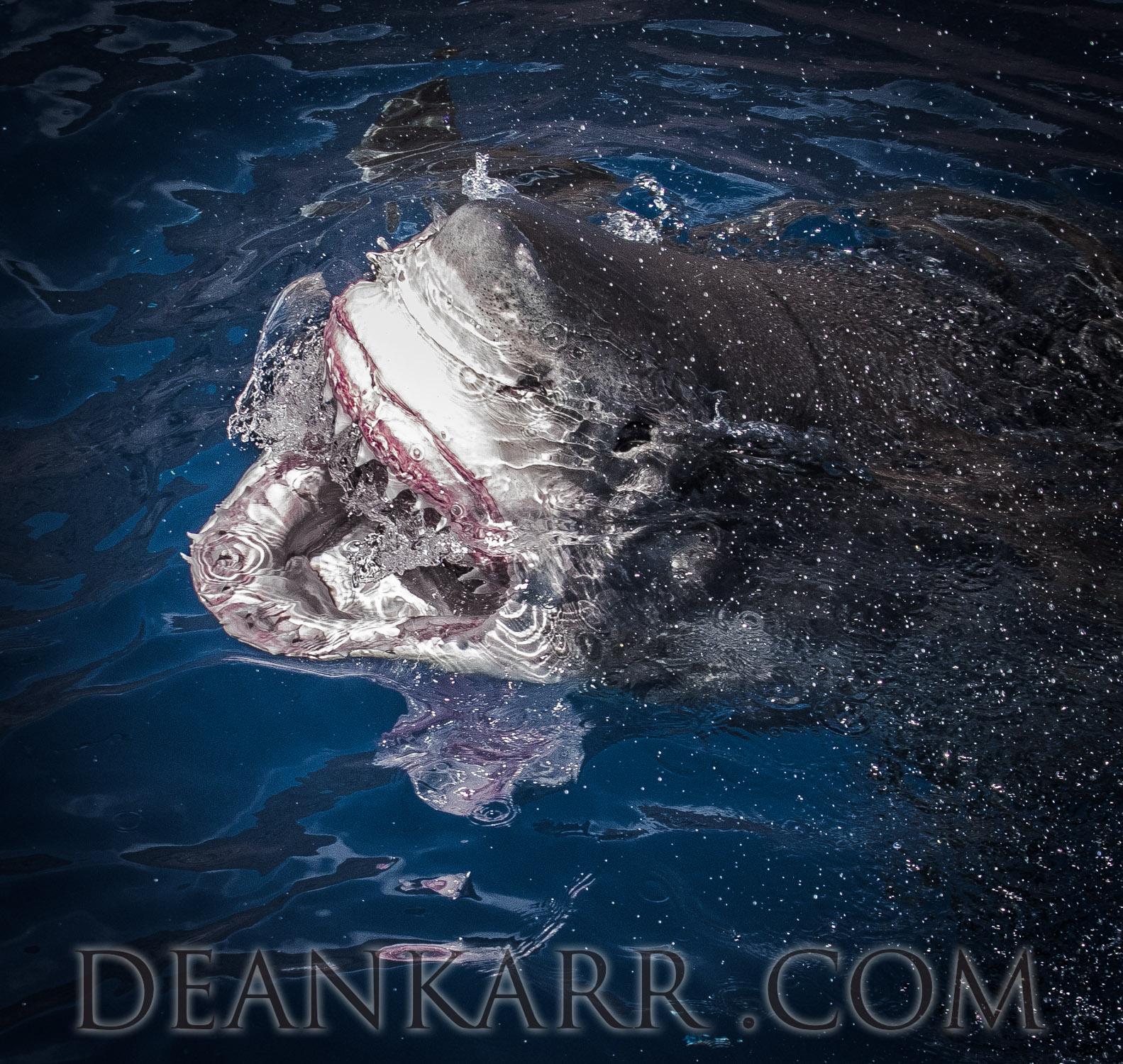 SHARKS 2016-464.jpg