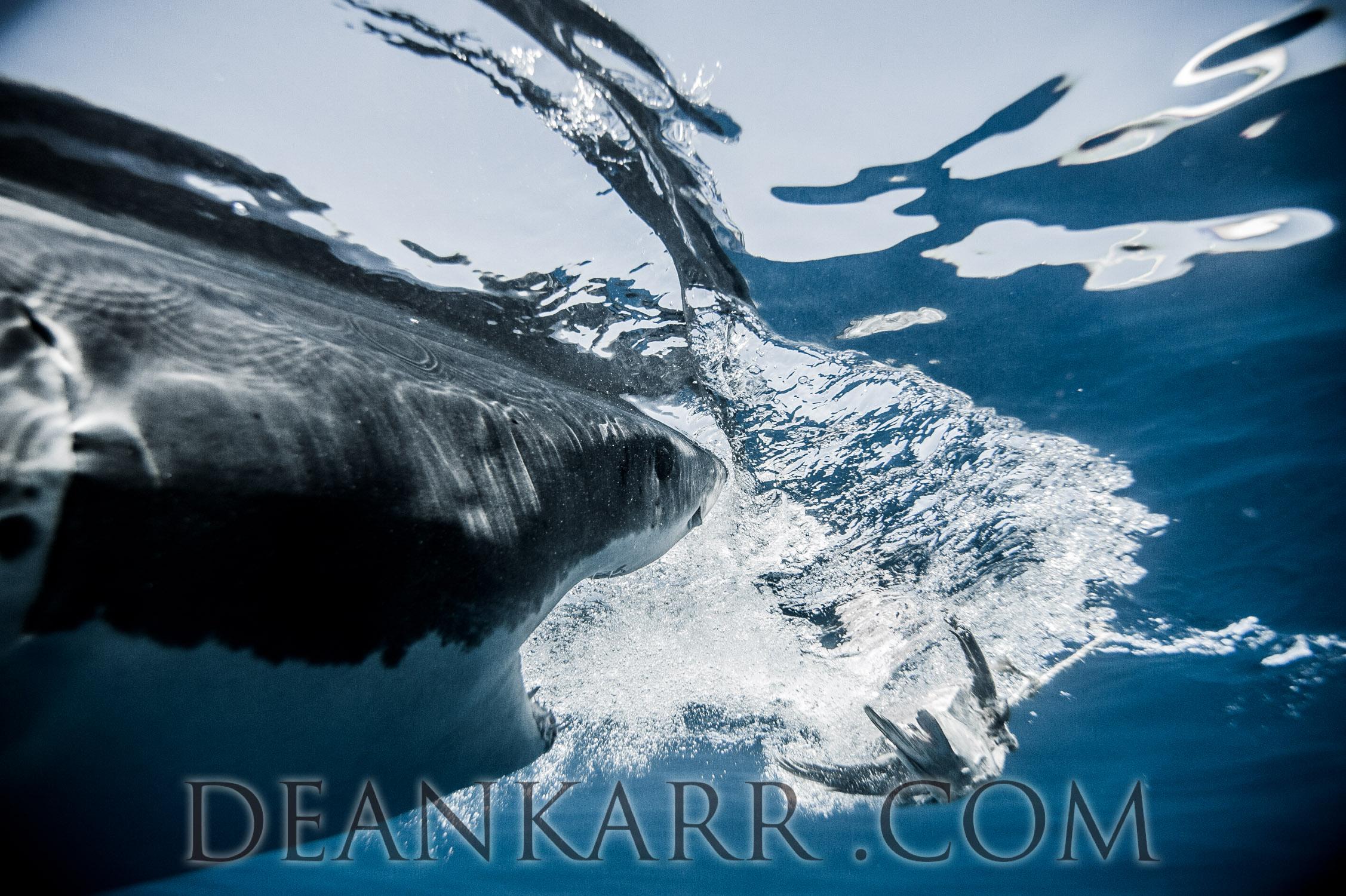 SHARKS 2016-1825.jpg