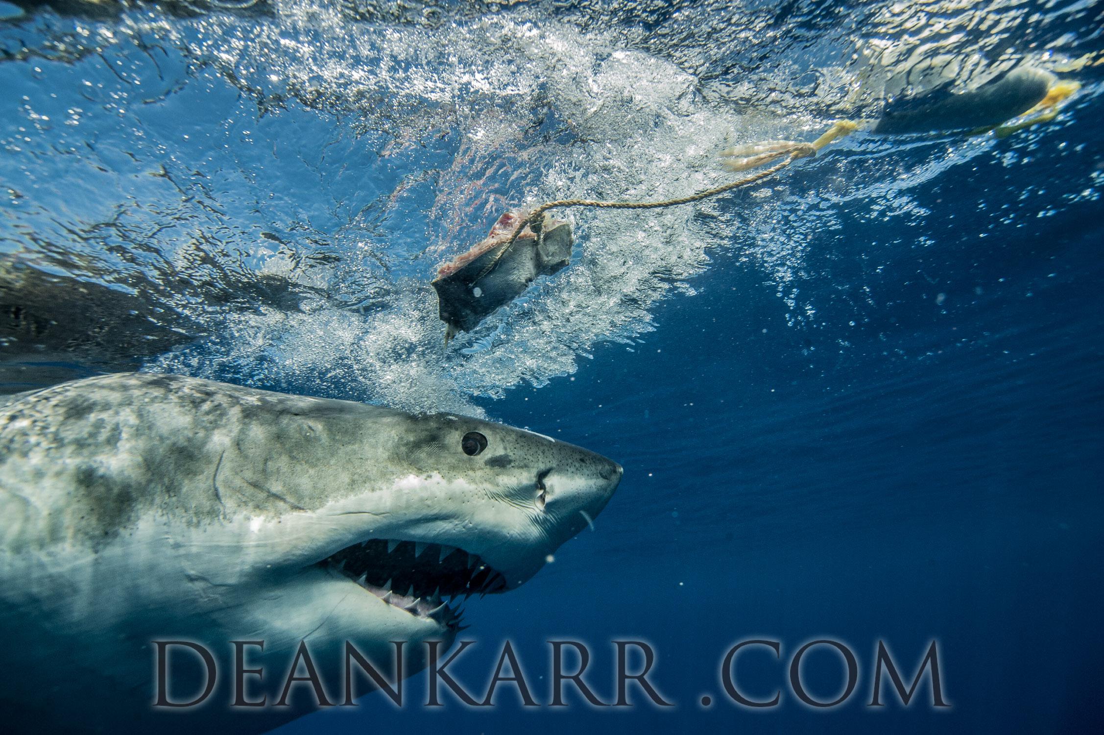 SHARKS 2016-2518.jpg